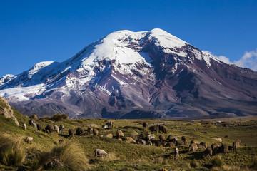 Chimborazo volcano and sheep