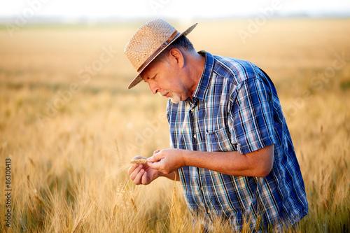 Fotografie, Obraz  Senior farmer checks wheat grain