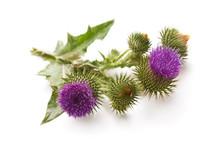 Milk Thistle Plant (Silybum Marianum) Herbal Remedy