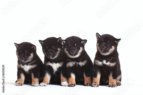 group of puppies on a white background © kichigin19