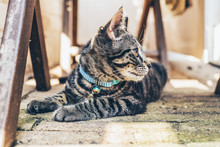 Young Tabby Cat Wearing A Blue Collar