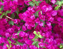 Colorful Bougainvillea Flowers...