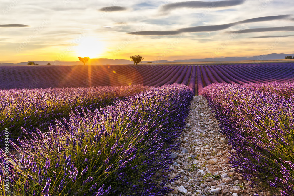 Sunset on a lavender field with two trees