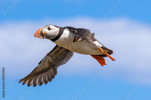 Fotografie, Tablou  Atlantic puffin in flight