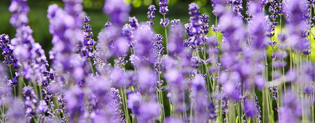 Panel Szklany Lawenda Lavendelpflanze