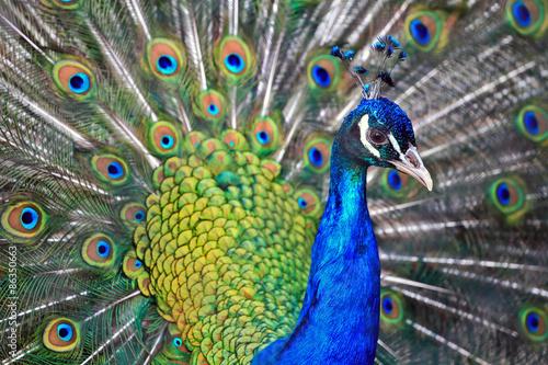Foto op Plexiglas Pauw male peacock