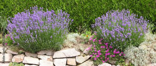 Tuinposter Lavendel lavande en bordure de haie