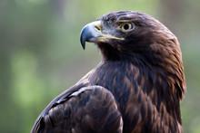 Golden Eagle Head Shot