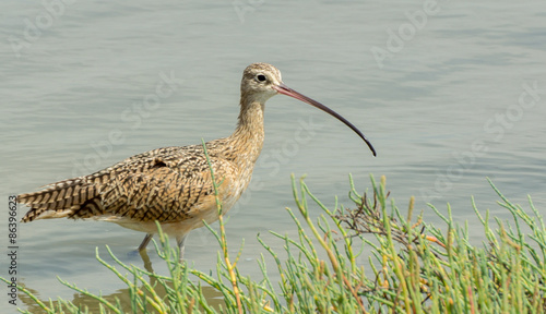Fotografia  Long-billed Curlew (Numenius americanus)