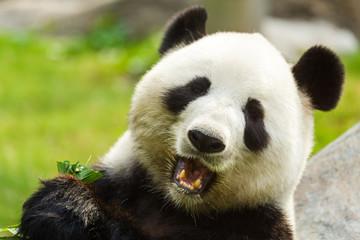 Panel Szklany Panda Panda bear eating bamboo