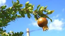Pomegranate Tree (4K)