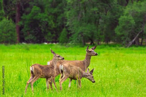 Poster Deer Deers on green meadow