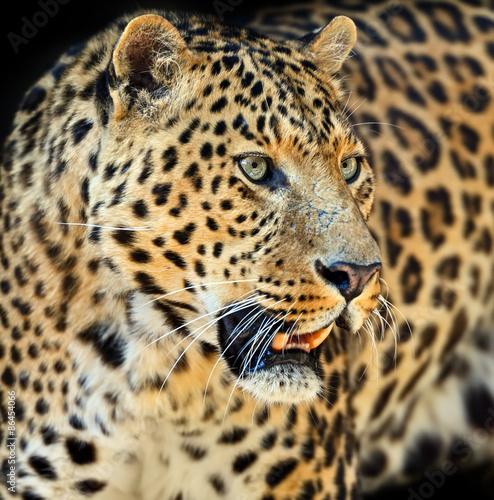 Fototapety, obrazy: Leopard