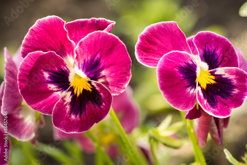 Papiers peints Pansies Heartsease (Viola tricolor) fine flowers against a greenish background