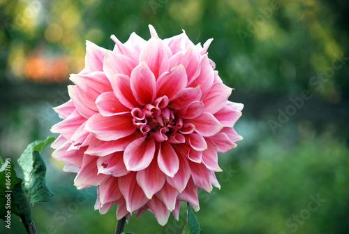 Poster Dahlia Pink and white dahlia flower