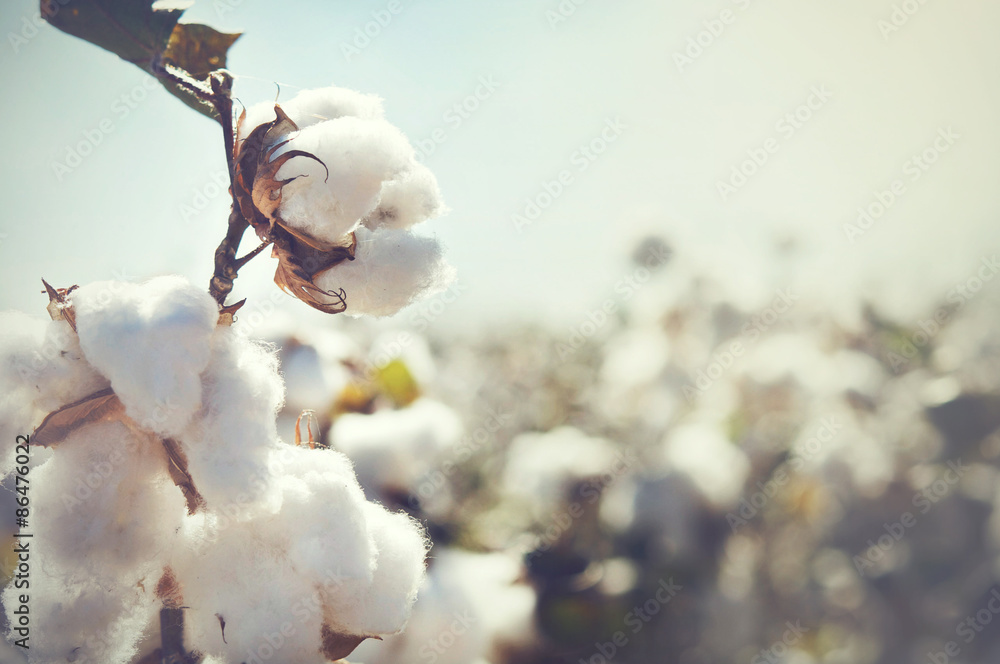 Fototapety, obrazy: Cotton bud crop - landscape with copy space