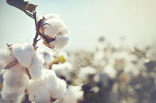 Cotton Bud Crop - Landscape Wi...
