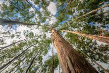 Eucalyptus Tree Against Sky Wi...
