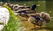 Enten In Reihe Ruhen Sich Aus