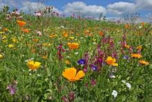 Blühende Saatblumenmischung A...