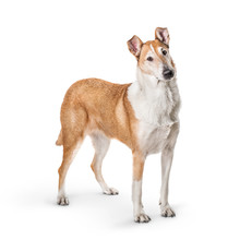 Smooth Collie Isolated On A Wh...