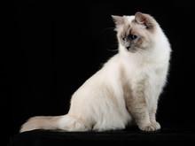 Sacred Cat Of Burma Kitten