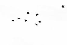 Flock Of European Starlings Si...