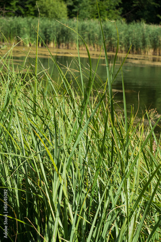 Fotografie, Obraz  Sedge, plant, grass, water, herbs, bent