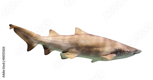 large shark over white Canvas Print