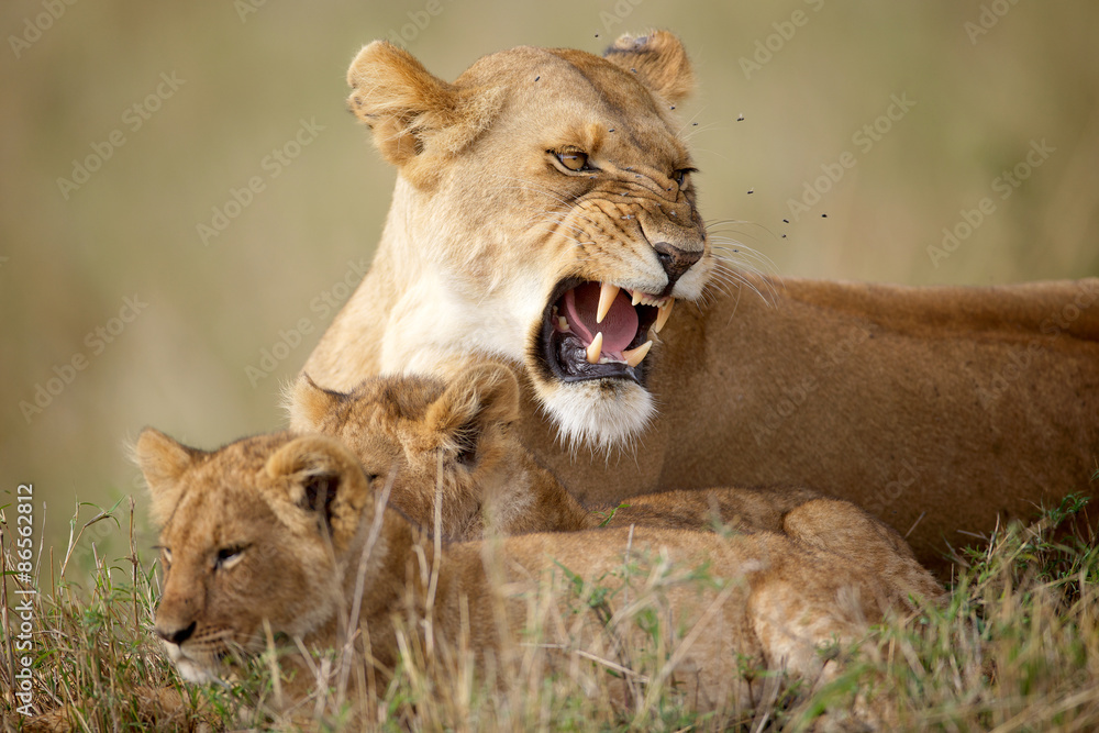 Fototapety, obrazy: Lioness protecting her cubs