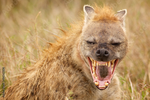 Deurstickers Hyena A laugh a day