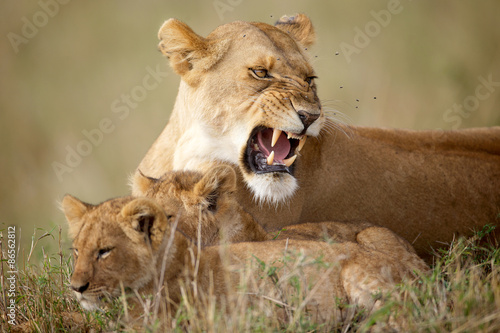 Obraz Lioness protecting her cubs - fototapety do salonu