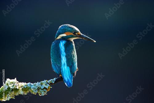 Canvas-taulu kingfisher