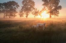 Sheep On Misty Pasture At Sunr...