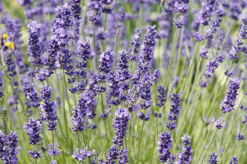 Foto op Plexiglas Lavendel Lavande