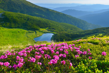 Fototapeta Alpine rose in summer mountains