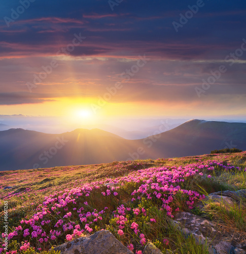 Aluminium Prints Salmon Dawn in the mountains of flowers of Rhododendron