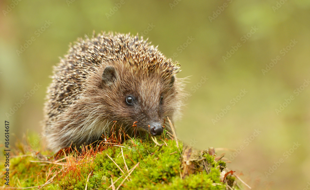 Fototapeta Young hedgehog in natural habitat