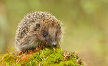 Young Hedgehog In Natural Habi...