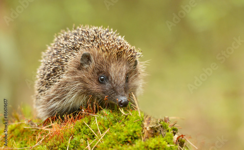 Obraz Young hedgehog in natural habitat - fototapety do salonu