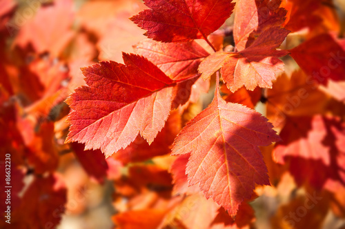 Photo  Red leaves in autumn forest.