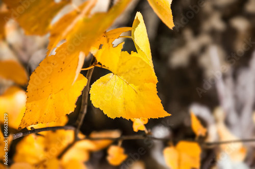 Photo  Yellow birch leaves in autumn forest