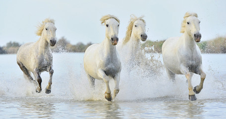 Fototapeta Koń Herd of White Camargue horses running through water
