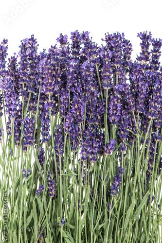 kwiaty-lawendy-na-bialym-tle-swieze-kwiaty