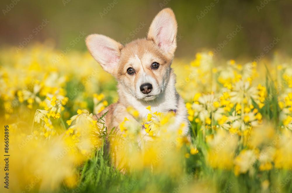 Fototapety, obrazy: Pembroke welsh corgi puppy sitting in flowers