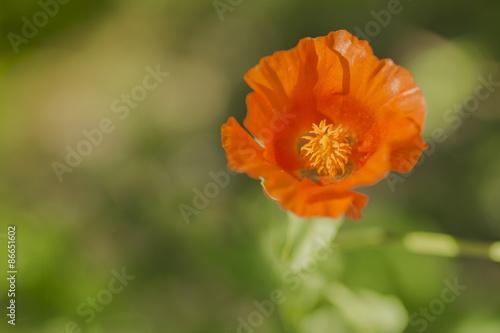 Staande foto Bloemen Poppy