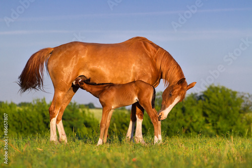 Fotografie, Obraz Colt drink milk from mare in pasture