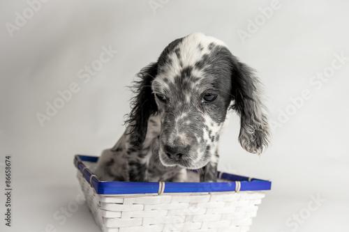 Buffo Ritratto Di Un Cucciolo Di Cane Setter Inglese Seduto In Una