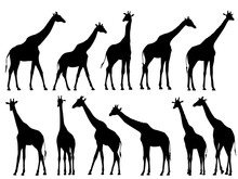 Set Vector Silhouettes Of Giraffes.