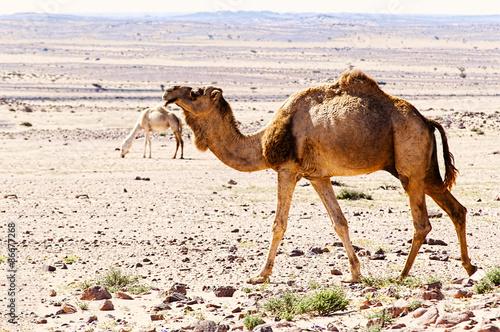 Poster Chameau camel